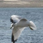 pic-route-seagull_on_ocean